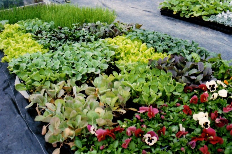 Vegetable plants in flats and pansies