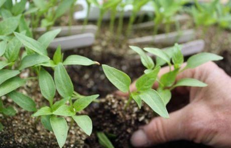 seedlings being transplanted