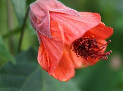 Abutilon Flowering Maple