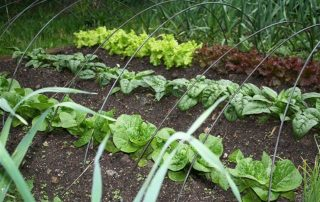 Lettuce Planted