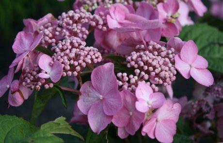 Twist and Shout Pink Hydrangea