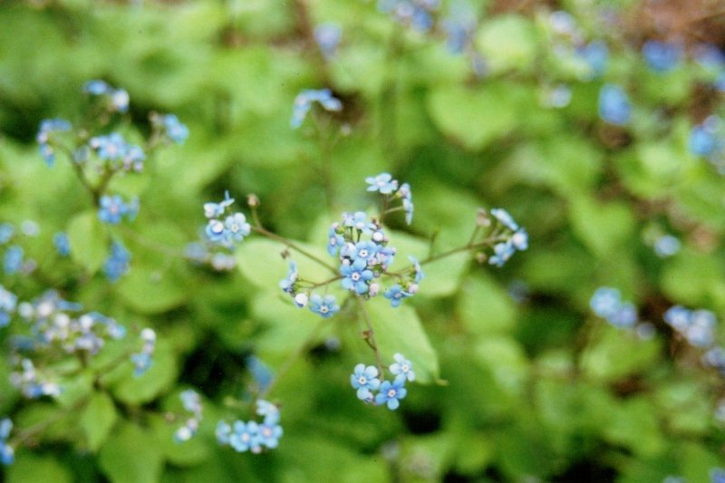 Russian Forget-me-nots