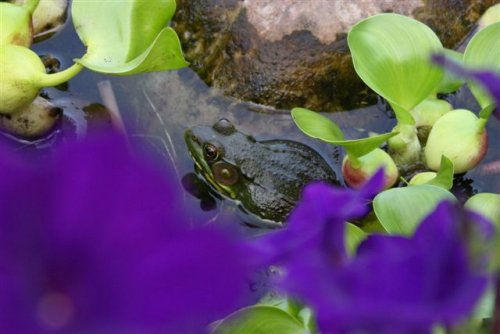Frog in water garden