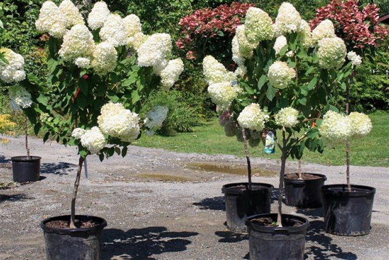 Tree Hydrangeas