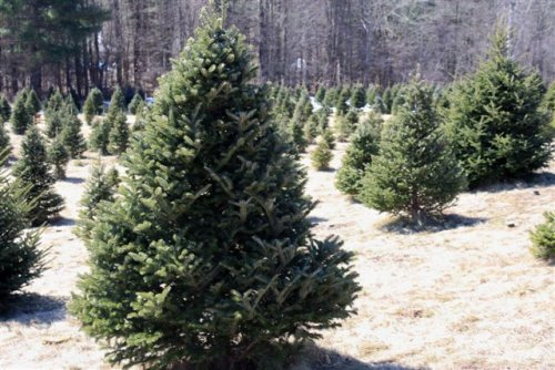 Choose & Cut Christmas Tree Field