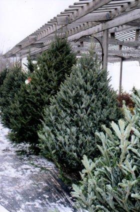 Fresh pre-cut trees