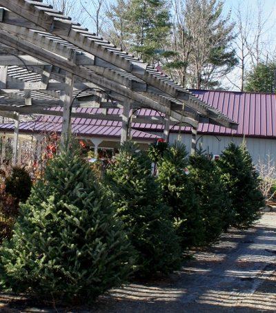 Fresh, pre-cut trees